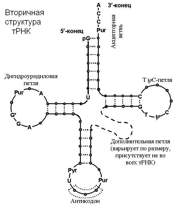 Каноническая модель тРНК.